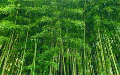 Como o bambu é usado na estética